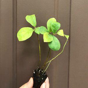 Ficus LYRATA Suncoast Fiddle - Starter Plant